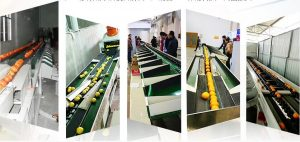 Fruit sorting machine helps fruit farmers reduce sorting costs